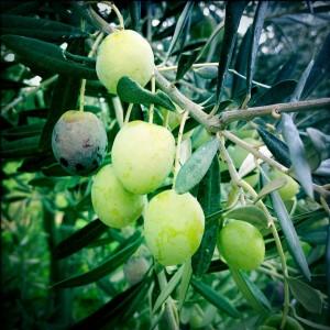 OlivenbaumBuS (2)